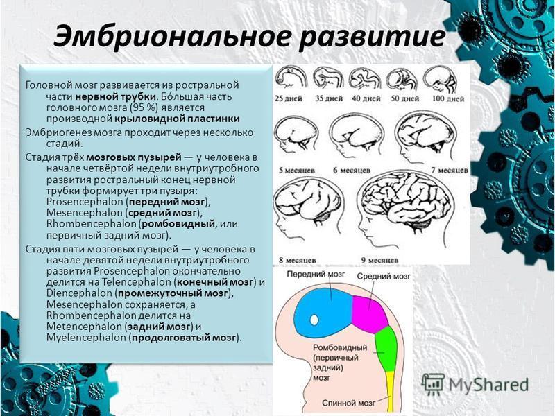 Эмбриональное развитие Головной мозг развивается из ростральной части нервной трубки. Бо́льшая часть головного мозга (95 %) является производной крыловидной пластинки Эмбриогенез мозга проходит через несколько стадий. Стадия трёх мозговых пузырей у ч