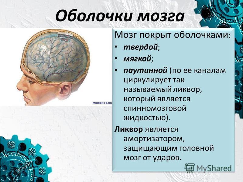 Оболочки мозга Мозг покрыт оболочками : твердой; мягкой; паутинной (по ее каналам циркулирует так называемый ликвор, который является спинномозговой жидкостью). Ликвор является амортизатором, защищающим головной мозг от ударов. Мозг покрыт оболочками