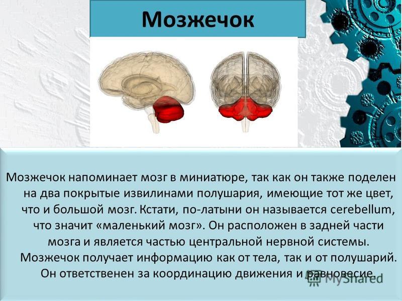 Мозжечок Мозжечок напоминает мозг в миниатюре, так как он также поделен на два покрытые извилинами полушария, имеющие тот же цвет, что и большой мозг. Кстати, по-латыни он называется cerebellum, что значит «маленький мозг». Он расположен в задней час