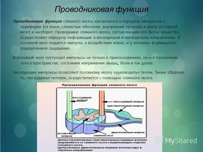 Проводниковая функция Проводниковая функция спинного мозга заключается в передаче импульсов с периферии (от кожи, слизистых оболочек, внутренних органов) в центр (головной мозг) и наоборот. Проводники спинного мозга, составляющие его белое вещество,