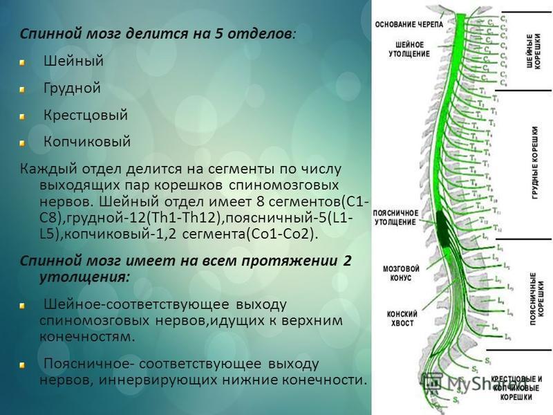 Спинной мозг делится на 5 отделов: Шейный Грудной Крестцовый Копчиковый Каждый отдел делится на сегменты по числу выходящих пар корешков спиномозговых нервов. Шейный отдел имеет 8 сегментов(С1- С8),грудной-12(Th1-Th12),поясничный-5(L1- L5),копчиковый