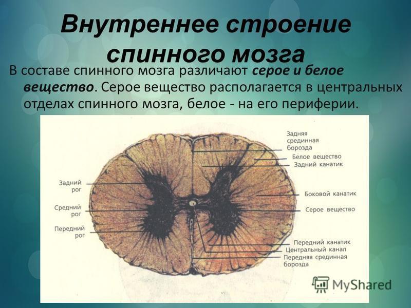 Внутреннее строение спинного мозга В составе спинного мозга различают серое и белое вещество. Серое вещество располагается в центральных отделах спинного мозга, белое - на его периферии.