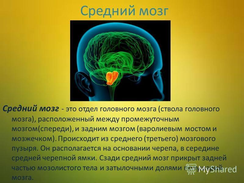Средний мозг Средний мозг - это отдел головного мозга (ствола головного мозга), расположенный между промежуточным мозгом(спереди), и задним мозгом (варолиевым мостом и мозжечком). Происходит из среднего (третьего) мозгового пузыря. Он располагается н