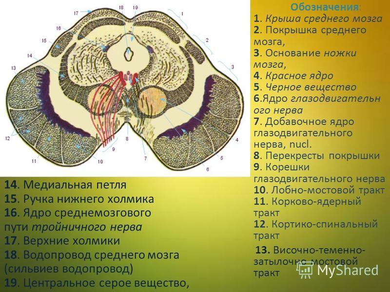 Обозначения: 1. Крыша среднего мозга 2. Покрышка среднего мозга, 3. Основание ножки мозга, 4. Красное ядро 5. Черное вещество 6. Ядро глазодвигательного нерва 7. Добавочное ядро глазодвигательного нерва, nucl. 8. Перекресты покрышки 9. Корешки глазод