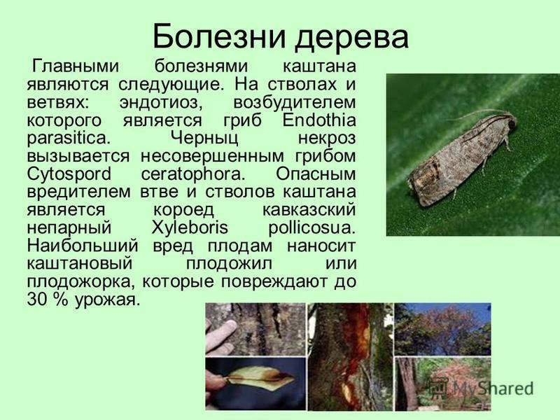 Болезни дерева Главными болезнями каштана являются следующие. На стволах и ветвях: эндотиоз, возбудителем которого является гриб Endothia parasitica. Черныц некроз вызывается несовершенным грибом Cytospord ceratophora. Опасным вредителем ветвей и ств