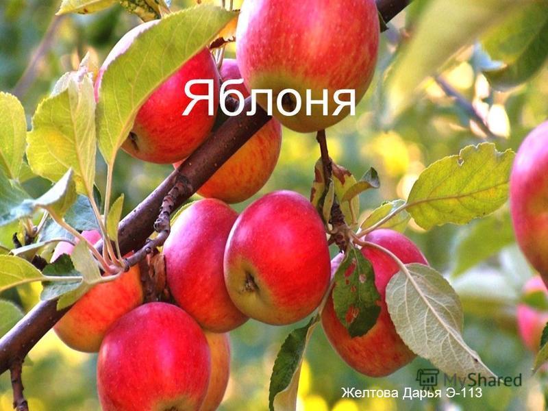 Яяяяяяблоня Желтова Дарья Э-113