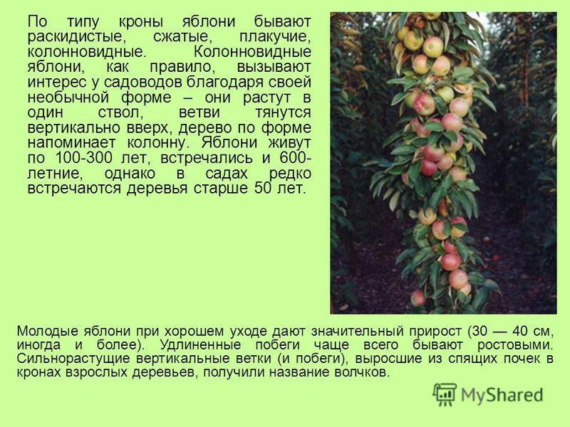 По типу кроны яблони бывают раскидистые, сжатые, плакучие, колонновидные. Колонновидные яблони, как правило, вызывают интерес у садоводов благодаря своей необычной форме – они растут в один ствол, ветви тянутся вертикально вверх, дерево по форме напо