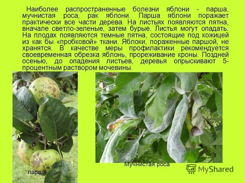Наиболее распространенные болезни яблони - парша, мучнистая роса, рак яблони. Парша яблони поражает практически все части дерева. На листьях появляются пятна, вначале светло-зеленые, затем бурые. Листья могут опадать. На плодах появляются темные пятн