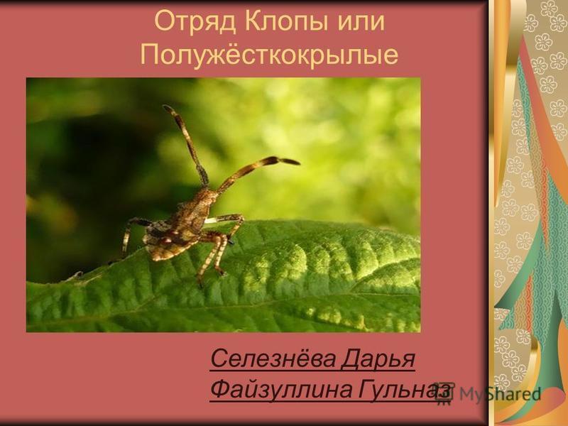 Отряд Клопы или Полужёсткокрылые Селезнёва Дарья Файзуллина Гульназ