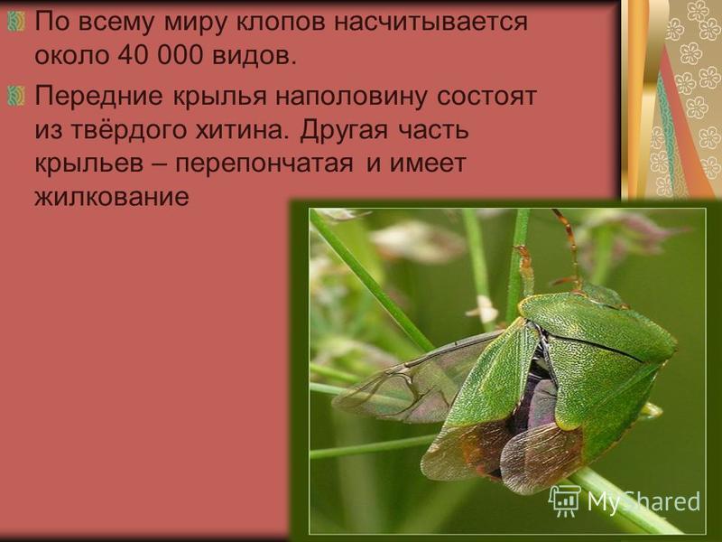По всему миру клопов насчитывается около 40 000 видов. Передние крылья наполовину состоят из твёрдого хитина. Другая часть крыльев – перепончатая и имеет жилкование