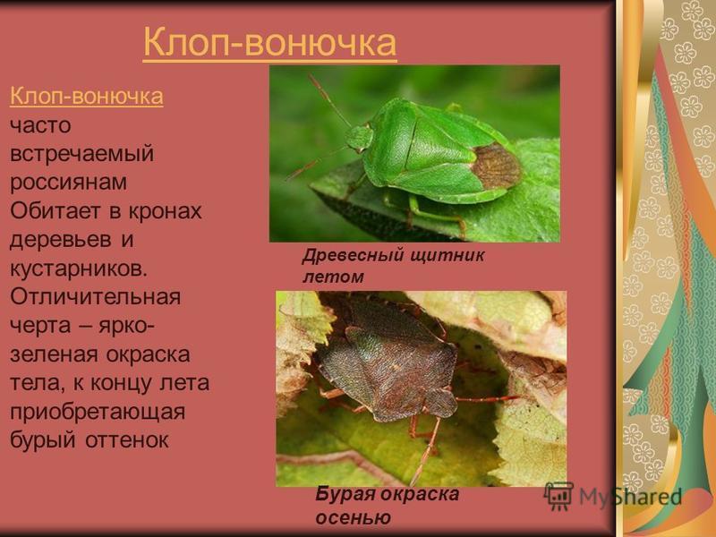 Клоп-вонючка Клоп-вонючка часто встречаемый россиянам Обитает в кронах деревьев и кустарников. Отличительная черта – ярко- зеленая окраска тела, к концу лета приобретающая бурый оттенок Древесный щитник летом Бурая окраска осенью