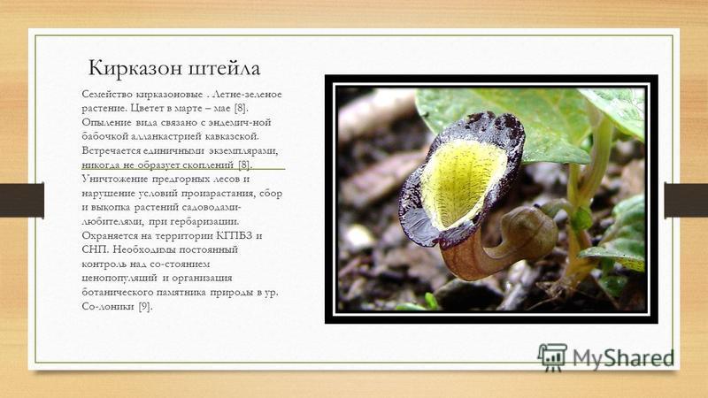 Кирказон штейла Семейство кирказоновые. Летне-зеленое растение. Цветет в марте – мае [8]. Опыление вида связано с эндемич-ной бабочкой алланкастрией кавказской. Встречается единичными экземплярами, никогда не образует скоплений [8]. Уничтожение предг