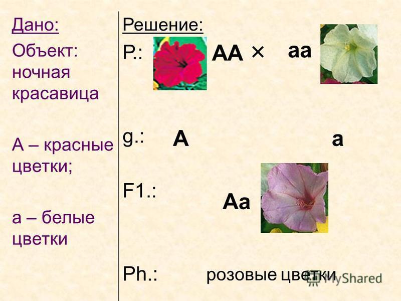 Дано: Объект: ночная красавица А – красные цветки; а – белые цветки Решение: Р.: g.: F1.: Ph.: АА аа А а Аа розовые цветки