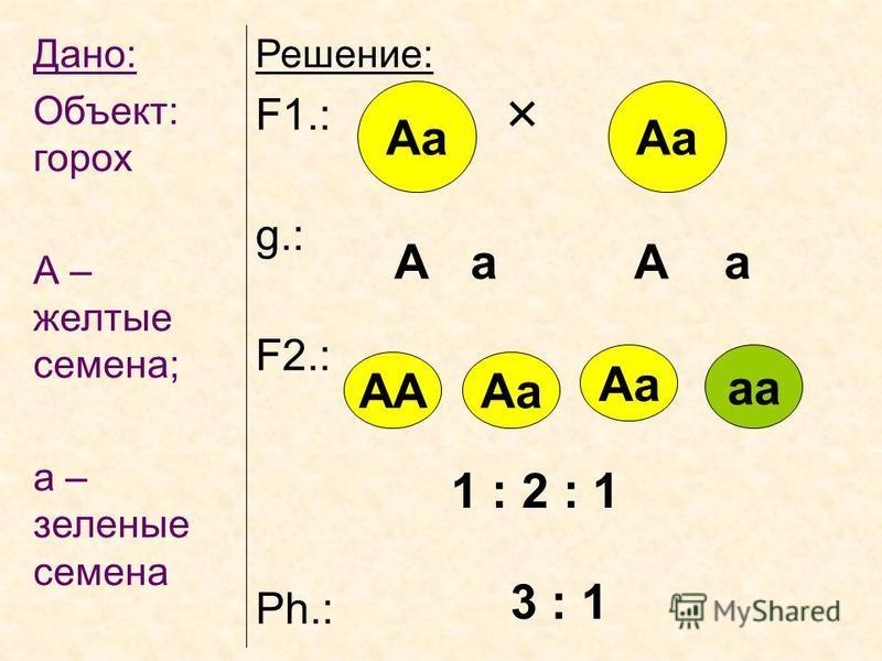 Дано: Объект: горох А – желтые семена; а – зеленые семена Решение: F1.: g.: F2.: Ph.: Аа А а А а АААа Аа аа 1 : 2 : 1 3 : 1