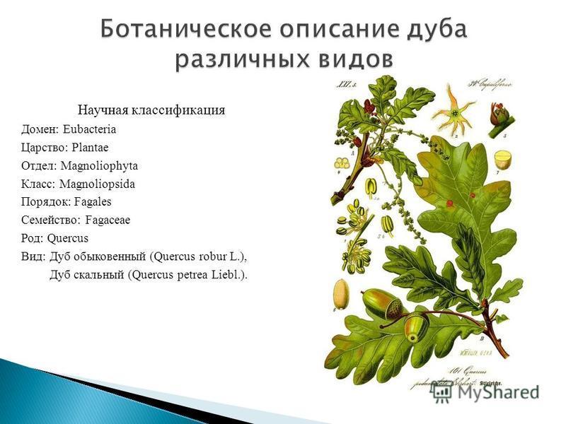 Научная классификация Домен: Eubacteria Царство: Plantae Отдел: Magnoliophyta Класс: Magnoliopsida Порядок: Fagales Семейство: Fagaceae Род: Quercus Вид: Дуб обыкновенный (Quercus robur L.), Дуб скальный (Quercus petrea Liebl.).