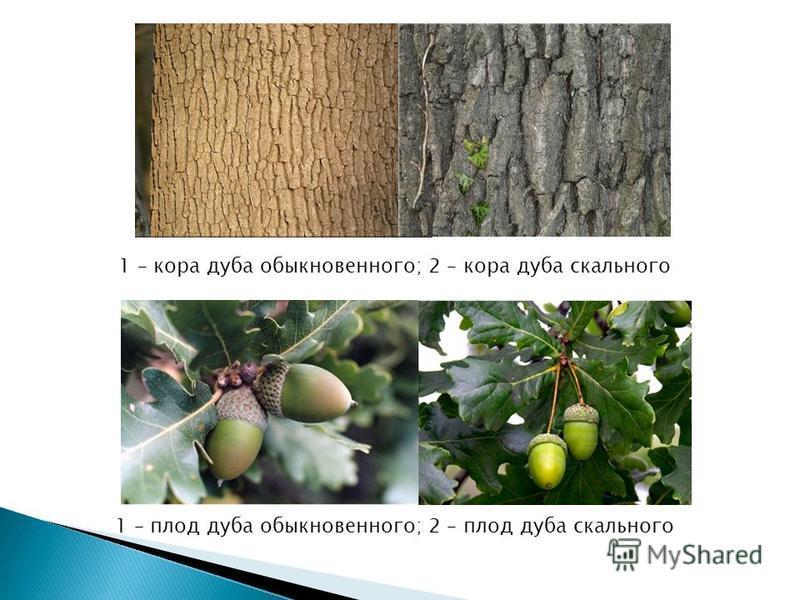1 – кора дуба обыкновенного; 2 – кора дуба скального 1 – плод дуба обыкновенного; 2 – плод дуба скального