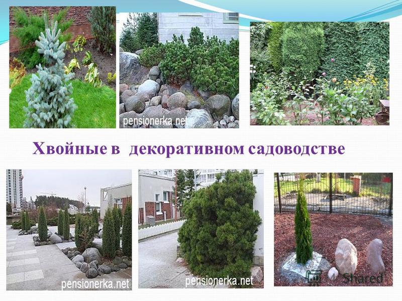 Хвойные в декоративном садоводстве