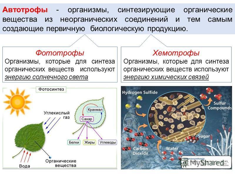 Автотрофы - организмы, синтезирующие органические вещества из неорганических соединений и тем самым создающие первичную биологическую продукцию. Фототрофы Организмы, которые для синтеза органических веществ используют энергию солнечного света Хемотро