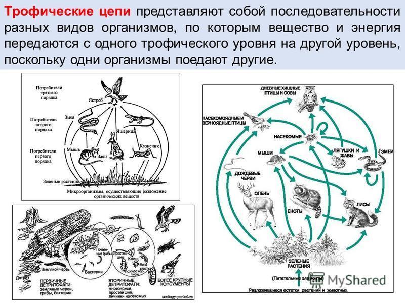 Трофические цепи представляют сопой последовательности разных видов организмов, по которым вещество и энергия передаются с одного трофического уровня на другой уровень, поскольку одни организмы поедают другие.