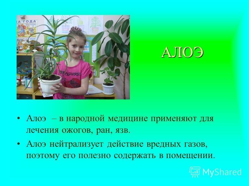 АЛОЭ Алоэ – в народной медицине применяют для лечения ожогов, ран, язв. Алоэ нейтрализует действие вредных газов, поэтому его полезно содержать в помещении.