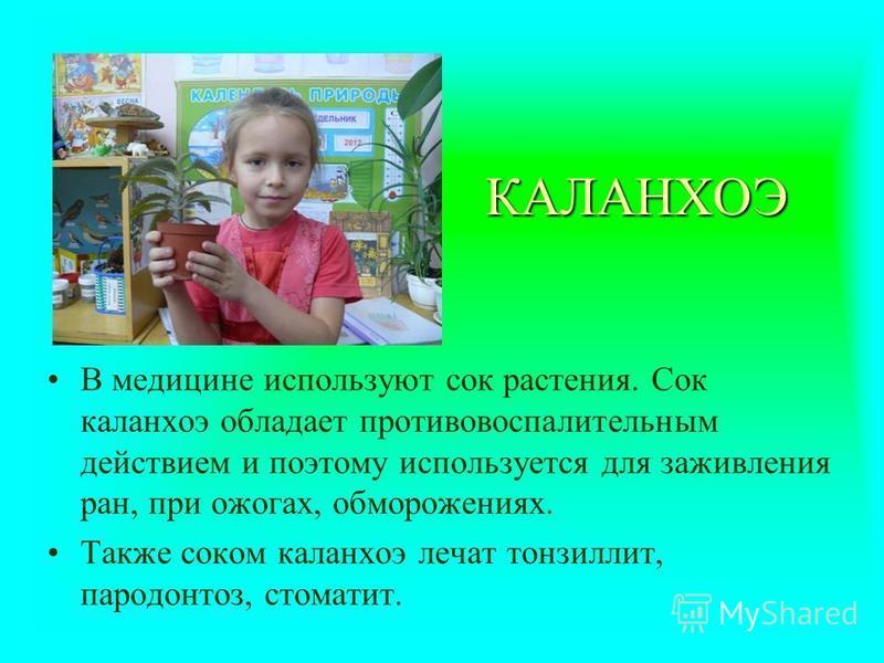 КАЛАНХОЭ В медицине используют сок растения. Сок каланхоэ обладает противовоспалительным действием и поэтому используется для заживления ран, при ожогах, обморожениях. Также соком каланхоэ лечат тонзиллит, пародонтоз, стоматит.