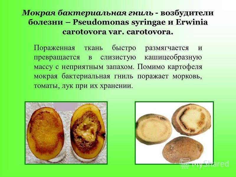 Мокрая бактериальная гниль - возбудители болезни – Pseudomonas syringae и Erwinia carotovora var. carotovora. Пораженная ткань быстро размягчается и превращается в слизистую кашицеобразную массу с неприятным запахом. Помимо картофеля мокрая бактериал