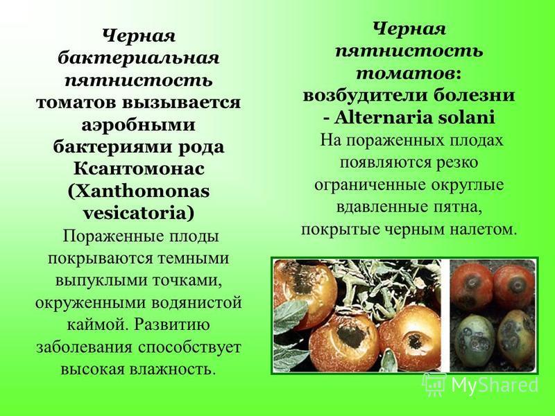 Черная бактериальная пятнистость томатов вызывается аэробными бактериями рода Ксантомонас (Xanthomonas vesicatoria) Пораженные плоды покрываются темными выпуклыми точками, окруженными водянистой каймой. Развитию заболевания способствует высокая влажн