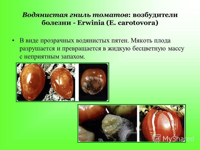 Водянистая гниль томатов: возбудители болезни - Erwinia (Е. carotovora) В виде прозрачных водянистых пятен. Мякоть плода разрушается и превращается в жидкую бесцветную массу с неприятным запахом.
