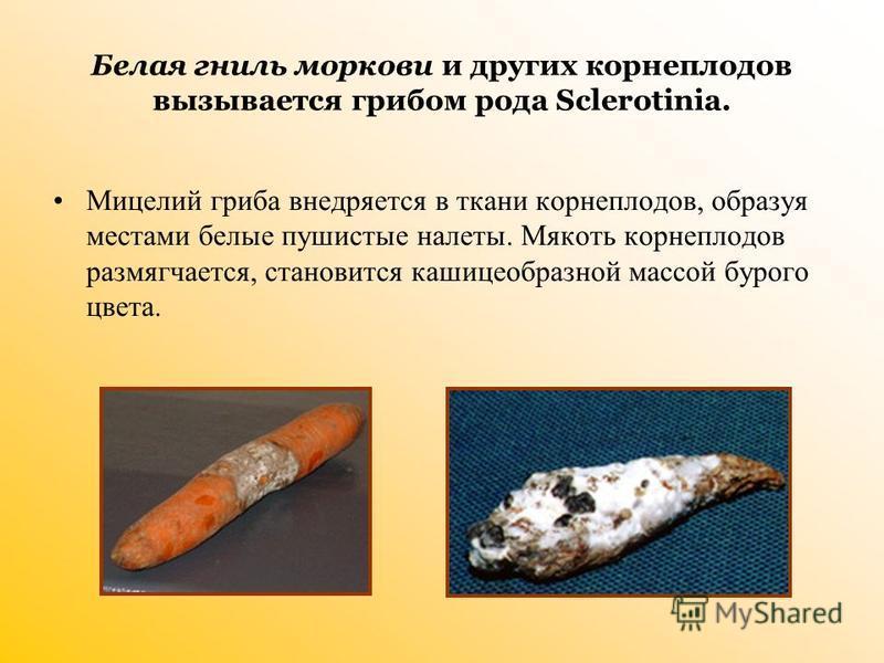 Белая гниль моркови и других корнеплодов вызывается грибом рода Sclerotinia. Мицелий гриба внедряется в ткани корнеплодов, образуя местами белые пушистые налеты. Мякоть корнеплодов размягчается, становится кашицеобразной массой бурого цвета.