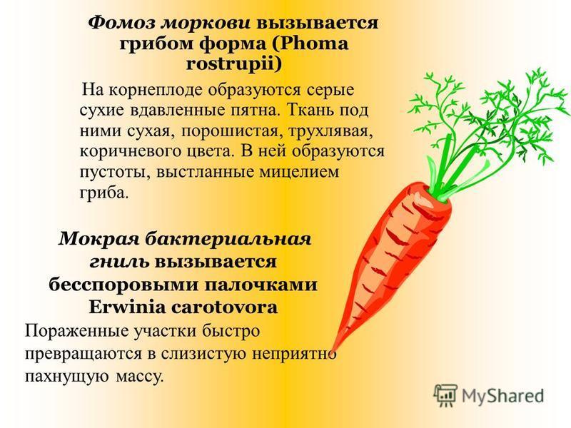 Фомоз моркови вызывается грибом форма (Phoma rostrupii) На корнеплоде образуются серые сухие вдавленные пятна. Ткань под ними сухая, порошистая, трухлявая, коричневого цвета. В ней образуются пустоты, выстланные мицелием гриба. Мокрая бактериальная г