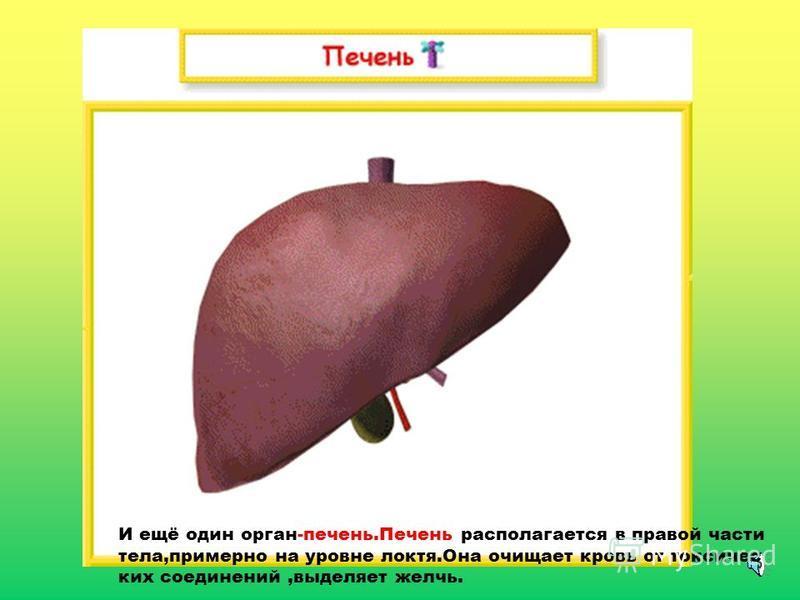 И ещё один орган-печень.Печень располагается в правой части тела,примерно на уровне локтя.Она очищает кровь от токсических соединений,выделяет желчь.