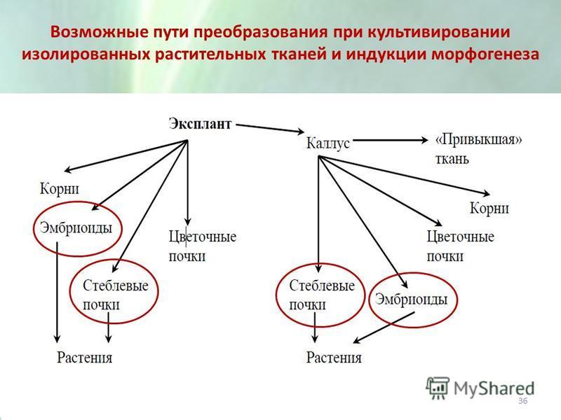 Возможные пути преобразования при культивировании изолированных растительных тканей и индукции морфогенеза 36