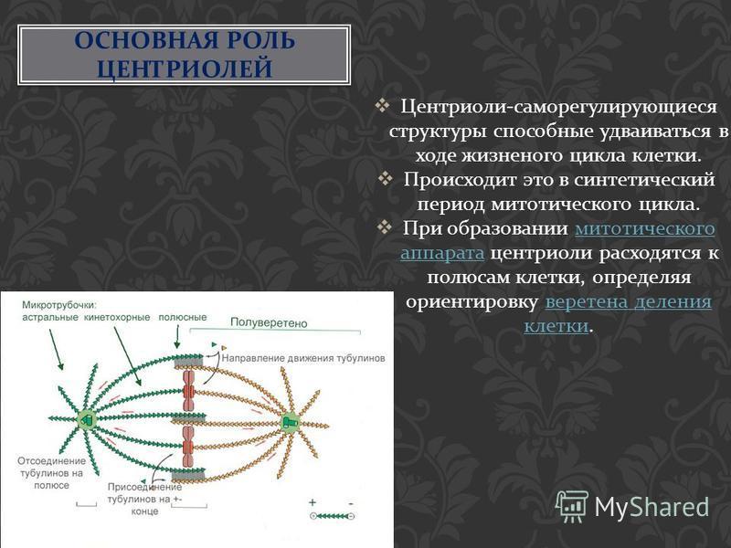 ОСНОВНАЯ РОЛЬ ЦЕНТРИОЛЕЙ Центриоли - саморегулирующиеся структуры способные удваиваться в ходе жизненного цикла клетки. Происходит это в синтетический период митотического цикла. При образовании митотического аппарата центриоли расходятся к полюсам к