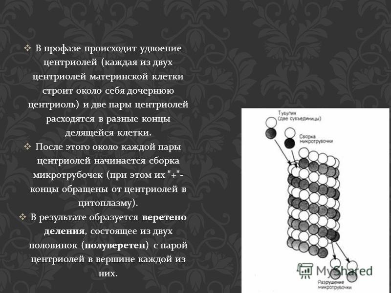В профазе происходит удвоение центриолей ( каждая из двух центриолей материнской клетки строит около себя дочернюю центриоль ) и две пары центриолей расходятся в разные концы делящейся клетки. После этого около каждой пары центриолей начинается сборк