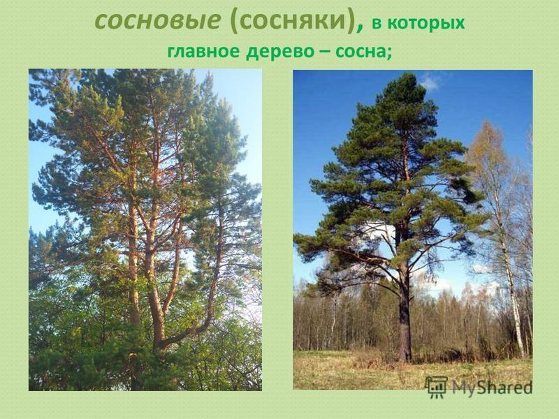 сосновые (сосняки), в которых главное дерево – сосна;