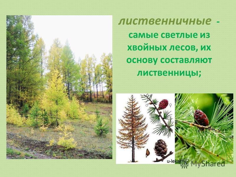 лиственничные - самые светлые из хвойных лесов, их основу составляют лиственницы;