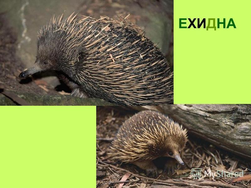 V. Особнености животного мира V. Особнености животного мира Новой Гвинеи - нет крупных млекопитающих. Отсутствуют хищники и ядовитые змеи. Древесные кнегуру