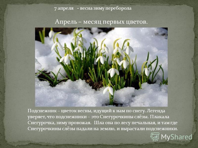 7 апреля - весна зиму переборола Апрель – месяц первых цветов. Подснежник – цветок весны, идущий к нам по снегу. Легенда уверяет, что подснежники – это Снегурочкины слёзы. Плакала Снегурочка, зиму провожая. Шла она по лесу печальная, и там где Снегур