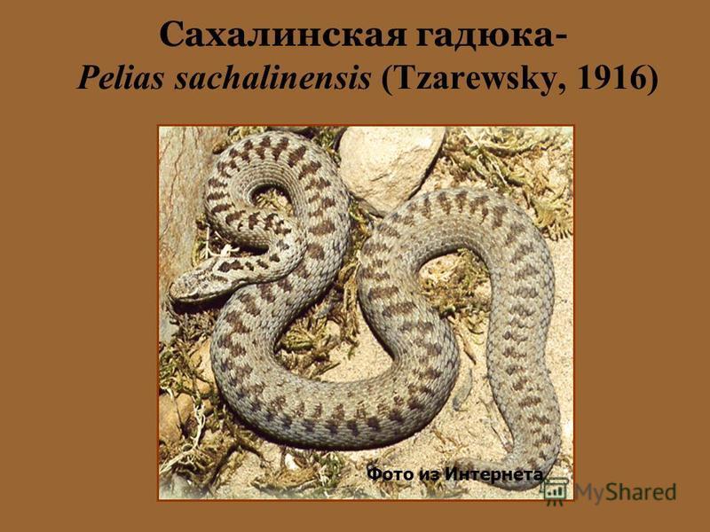 Сахалинская гадюка- Pelias sachalinensis (Tzarewsky, 1916) Фото из Интернета