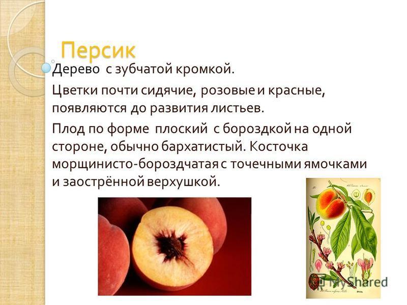 Персик Дерево с зубчатой кромкой. Цветки почти сидячие, розовые и красные, появляются до развития листьев. Плод по форме плоский с бороздкой на одной стороне, обычно бархатистый. Косточка морщинисто - бороздчатая с точечными ямочками и заострённой ве