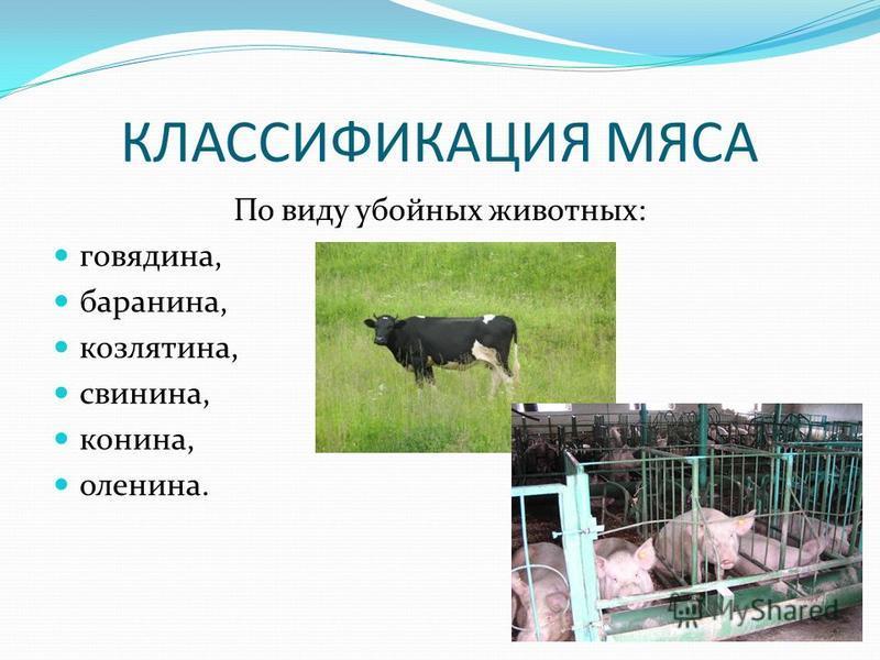КЛАССИФИКАЦИЯ МЯСА По виду убойных животных: говядина, баранина, козлятина, свинина, конина, оленина.