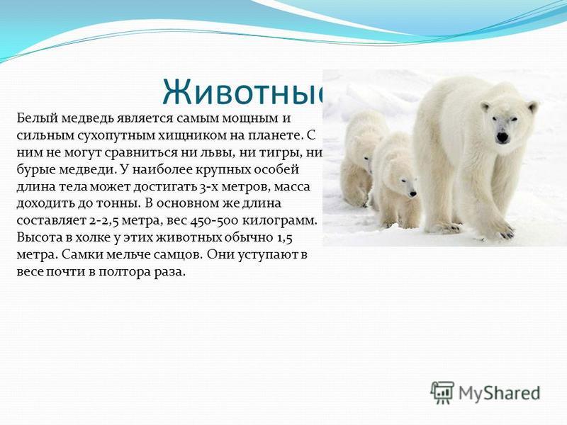 Животные. Белый медведь является самым мощным и сильным сухопутным хищником на планете. С ним не могут сравниться ни львы, ни тигры, ни бурые медведи. У наиболее крупных особей длина тела может достигать 3-х метров, масса доходить до тонны. В основно