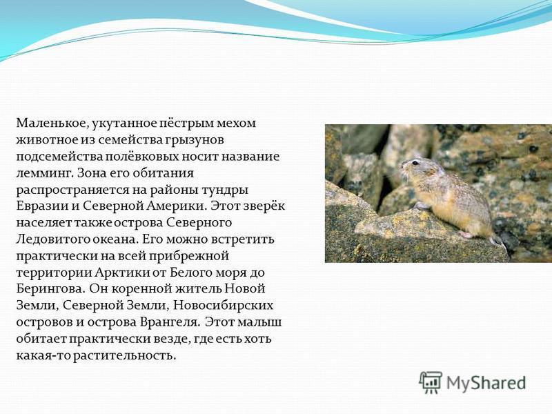 Маленькое, укутанное пёстрым мехом животное из семейства грызунов подсемейства полёвковых носит название лемминг. Зона его обитания распространяется на районы тундры Евразии и Северной Америки. Этот зверёк населяет также острова Северного Ледовитого
