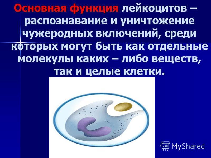 Основная функция Основная функция лейкоцитов – распознавание и уничтожение чужеродных включений, среди которых могут быть как отдельные молекулы каких – либо веществ, так и целые клетки.