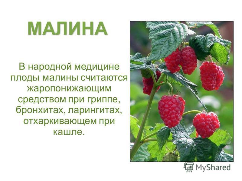 МАЛИНА В народной медицине плоды малины считаются жаропонижающим средством при гриппе, бронхитах, ларингитах, отхаркивающем при кашле.