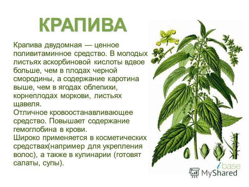Крапива двудомная ценное поливитаминное средство. В молодых листьях аскорбиновой кислоты вдвое больше, чем в плодах черной смородины, а содержание каротина выше, чем в ягодах облепихи, корнеплодах моркови, листьях щавеля. Отличное кровоостанавливающе
