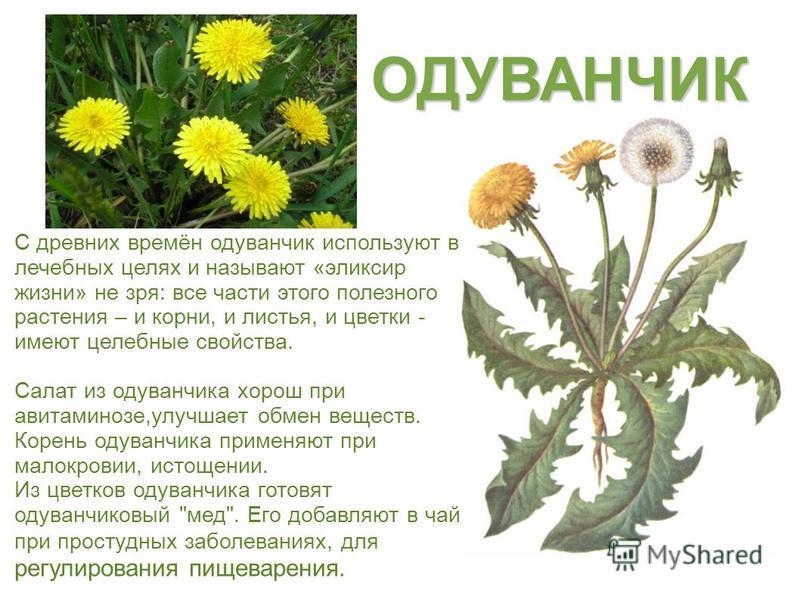 С древних времён одуванчик используют в лечебных целях и называют «эликсир жизни» не зря: все части этого полезного растения – и корни, и листья, и цветки - имеют целебные свойства. Салат из одуванчика хорош при авитаминозе,улучшает обмен веществ. Ко