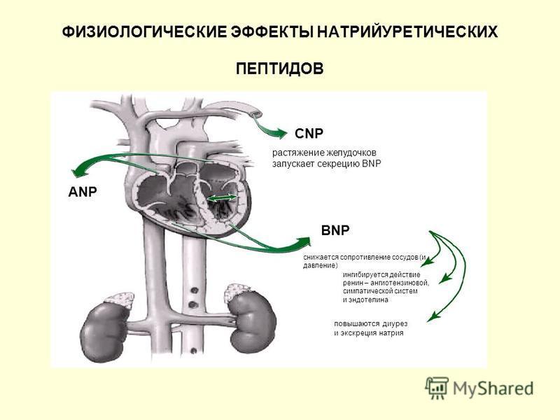ФИЗИОЛОГИЧЕСКИЕ ЭФФЕКТЫ НАТРИЙУРЕТИЧЕСКИХ ПЕПТИДОВ CNP BNP растяжение желудочков запускает секрецию BNP снижается сопротивление сосудов (и давление) ингибируется действие ренин – ангиотензиновой, симпатической систем и эндотелина повышаются диурез и