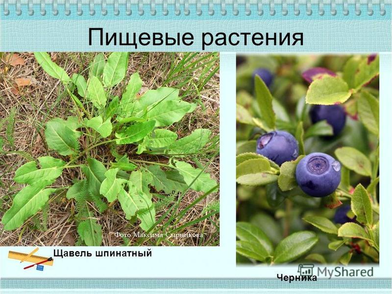 Пищевые растения Щавель шпинатный Черника
