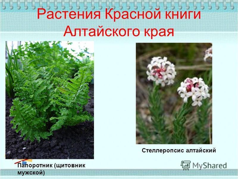 Растения Красной книги Алтайского края Папоротник (щитовник мужской) Стеллеропсис алтайский
